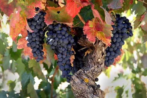 Vid de Rioja Alavesa