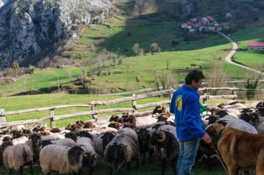 Profesionalhoreca, pastor con rebaño de ovejas en Picos de Europa